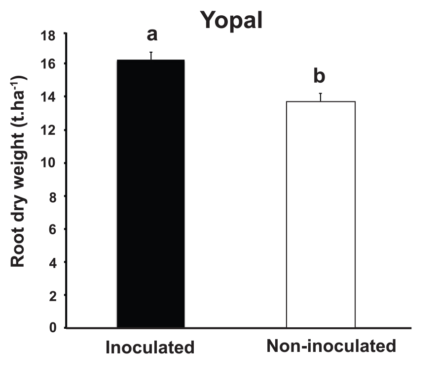 In Yopal, inoculation with mycorrhizal fungi significantly increased cassava root yield, irrespective of how much phosphate fertilizer was applied (from Ceballos et al 2013)